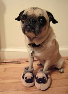 who can resist a pug in pug slippers?
