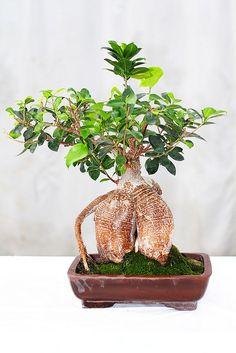 Ginseng Ficus 30 yrs $249.99 by The Bonsai Guy #bonsai #bonsai tree #ficus