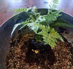 Repotting A Rabbit's Foot Fern Plant: How And When To Repot Rabbit's Foot Ferns - Rabbit's foot fern doesn't mind being pot bound but you should give it fresh soil every couple years. Repotting can be a challenge with all the little feet hanging around the pot so read here for a step-by-step tutorial on how to repot a rabbit's foot fern.