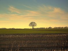 a lonesome tree rules the field