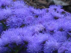 46 best blue purple pink white flower power images on blue ageratum mightylinksfo
