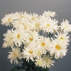 white, frilly double white summer flowers on easy-to-grow in. Summer Flowers, Cut Flowers, White Flowers, Shasta Daisies, Diy Projects For Beginners, Herb Seeds, Diy Chicken Coop, Tall Plants, Perennials