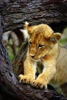 Lion.. SO CUTE ❤