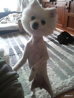 "Arghhh! ~ I said to the groomer: ""No shorter than the shag pile rug""..."