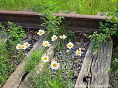 Daisies grow from abandoned tracks on the old Chicago North Shore and Milwaukee Railroad