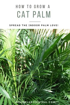 Wondering about cat palm care and growing this beautiful houseplant? The cat palm caresheet contains everything you need to know! Indoor Palms, Keep Alive, Bathroom Plants, Large Plants, Growing Tree, Potting Soil, Health And Safety, Housekeeping, Houseplants