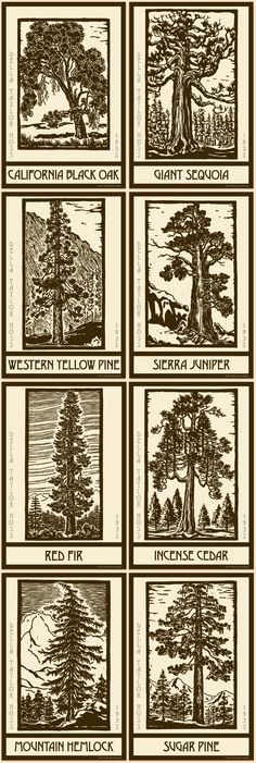 Linoleum block cut illustration by Della Taylor Hoss (1900-1997) from the book Trees of Yosemite by Mary Curry Tresidder. Della graduated from Stanford University in 1923 and studied at the California School of Fine Arts and the National School for Fine and Applied Arts in Washington, DC. Her artwork was influenced by the American Arts and Craft Movement circa 1915-1930s. Available for purchase as quilt blocks in various sizes on oldeamericaantiques.com. Free shipping for orders over $100.
