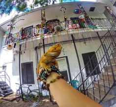 Late post our weekend in New Orleans-French Quarter Festival . #neworleans #nola #nawhlins #beads #neworleansbeads #music #jazz #frenchquarterfest #frenchquarterfestival #frenchquarter #visitnola #beardeddragon #beardie #beard #reptile #beardeddragonsofinstagram #reptilesofinstagram #lizard #gopro #goprohero4 #heroblack4 #hero4 #louisiana #goexplore #getoutside #optoutdoors #forthebooks by panchodysseys
