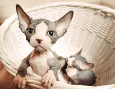 Who can resist a basket of tiny Sphynx kittens?