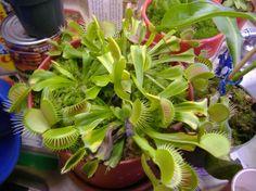 Venius Fly Plants by www.rarexoticseeds.com
