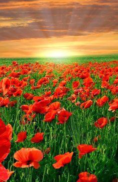 Stunning Poppy Field, England