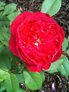 David Austin Old English Red Rose