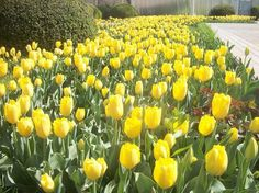 Yellow tulips in spring - National Geographic Your Shot