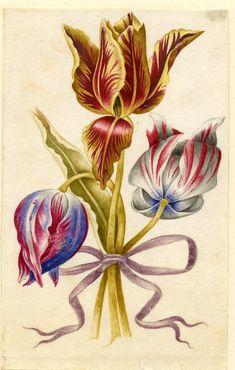 Drawing from an album, yellow and crimson, blue and crimson and white and crimson Tulips, tied with mauve ribbon Watercolour over metalpoint, heightened with white, on vellum
