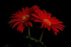 Gerbera Daisy Flower | Flickr - Photo Sharing!