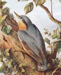 Nuthatch  Antique Bird Print  Vintage Bird by PeonyandThistlePaper, £6.50