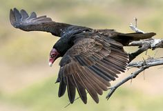 A turkey vulture in Emigration Canyon. (Steve Griffin  |  The Salt Lake Tribune)