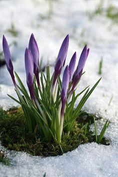 Весенние цветы - природа, настроение, вдохновение #весна #цветы #природа