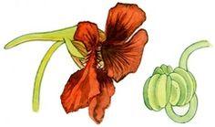 Pickle nasturtium seeds for 'capers' | OregonLive.com