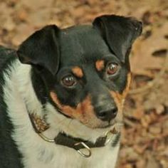 Jake is an adoptable Rat Terrier Dog in Dahlonega, GA. Jake was abandoned with a lot of hair loss and scabs. The scabs are gone and the hair is back. He weighs 22 lb and is very sweet and calm with no...