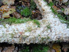 Glazige Buisjeszwam - Physisporinus vitreus. - Foto gemaakt door pinterester Adri v.d.S - Bord Paddenstoelen - Gelatineus - Korsten en Kussens - Mushrooms