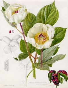 Watercolour and pencil on paper of Paeonia whittmanniana var. nudicarpa (peony) by Lilian Snelling. This painting was reproduced in F.C Sterns 'A Study of The Genus Paeonia' published in The illustration includes dissection views of the seed pods.