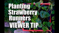 Planting Strawberry Runners in Strawberry Crate Towers -  Viewer Tip to ...