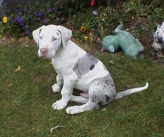 merlequin great dane puppy