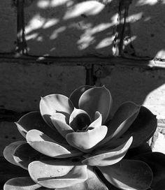 Summer sun  〰〰〰〰〰〰  #plants #herbs #succulent #light #sun #monochrome #blackandwhite #bw