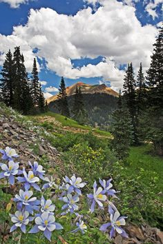 Columbine, Colorado's State Flower, Ouray, CO by Mike Bartone