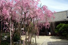 Spring in Nara. Isn't it beautiful? ^^