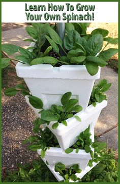Spinach salads are perfect for this time of year! Learn how to grow your own spinach and skip the produce aisle! #SpinachSalad #Spinach