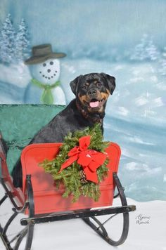Rottweiler's Christmas photo