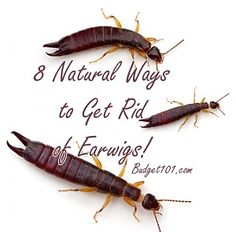Get rid of the bugs eating your clothes silverfish how How to get rid of crickets in the garden