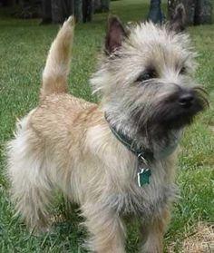 Cairn Terrier a very cute little terrier. alot of cairn terriers live a long life.