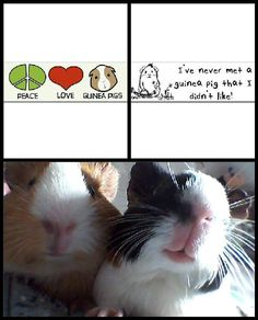 Two for one: Peace, love and guinea pigs and I never met a guinea pig I didn't like. Bonus: two adorable piggies at the bottom. <3!