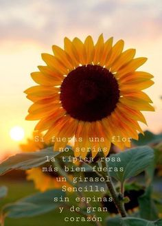 """Si fueras una flor no serías la típica rosa más bien fueras un girasol sencilla sin espinas y de gran corazón."" Sunflower Quotes, Poetry Quotes, Lyric Quotes, Book Quotes, Life Quotes, Quotes En Espanol, My Life Style, Coffee Quotes, Spanish Quotes"