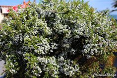 Coleonema – Coleonema album - Arbusto com flores pequenas, brancas, com um disco verde escuro ...