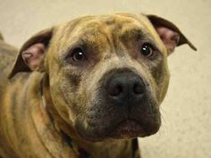 TO BE DESTROYED - 03/13/15 Manhattan Center  My name is SHILOH. My Animal ID # is A1029851. I am a male br brindle american staff mix. The shelter thinks I am about 3 YEARS old.  I came in the shelter as a STRAY on 03/09/2015 from NY 10456, owner surrender reason stated was STRAY.