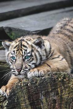 souhailbog: Sumatran Tiger Cub By Gary Brookshaw by alltiger