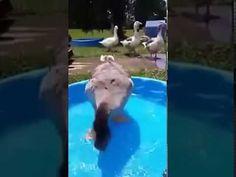 (4) goose does happy dance in children's pool - YouTube