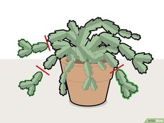 How to Prune a Christmas Cactus. Named after the time of year that they bloom in the Northern Hemisphere, Christmas cactus plants are beautiful and easy to maintain in the right conditions. The simple process of pruning can help grow a. Succulent Gardening, Cacti And Succulents, Planting Succulents, Cactus Plants, Garden Plants, House Plants, Planting Flowers, House Plant Care, Indoor Cactus