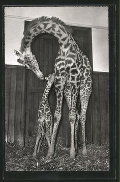 Vintage postcard, zoo photo