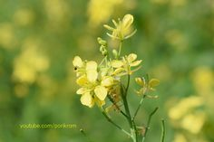 Beautiful Mustard flowers (সরিষা ফুল) Make An Infographic, Mustard Flowers, In The Zoo, North London, Birds Eye View, How To Make Paper, Around The Worlds, Beautiful
