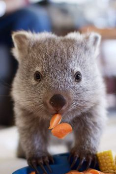 So cute! ❤️ Maria the wombat © Bonorong Wildlife Sanctuary