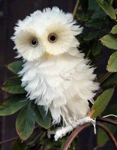 Owl - @Crystal Chou Chou Chou Chou Chou Chou Chou Chou Yates - not real but cute