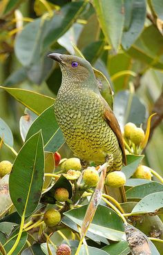 Satin Bower Bird (female) by photobitz, via Flickr