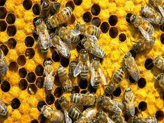 Sequencializado genoma da abelha africanizada - Um trabalho de pesquisa desenvolvido por pesquisadores do Núcleo de Ensino, Ciência e Tecnologia em Apicultura Racional (NECTAR) da Faculdade de Medicina Veterinária e Zootecnia (FMVZ) da Unesp, câmpus de Botucatu, e York University, de Toronto, no Canadá, conseguiu sequenciar a totalidade do geno - http://acontecebotucatu.com.br/geral/sequencializado-genoma-da-abelha-africanizada/