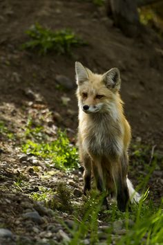 I want one of those domesticated Russian foxes that act like dogs.