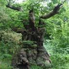 The Big Belly Oak, Savernake Forest. Photo ATH/Dave Kenny. At least 1,000 years old this Sessile oak has a girth of 11 metres +.